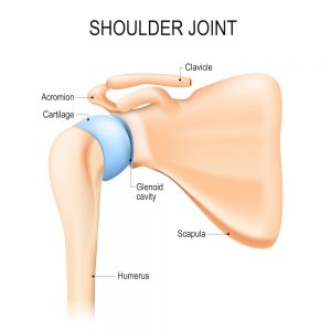 shoulder joint with synovial capsule